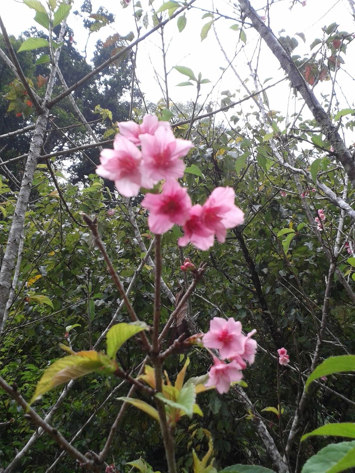Petualang Agustus 2015 Bunga Sakura Kebun Raya Cibodas Taman Kab