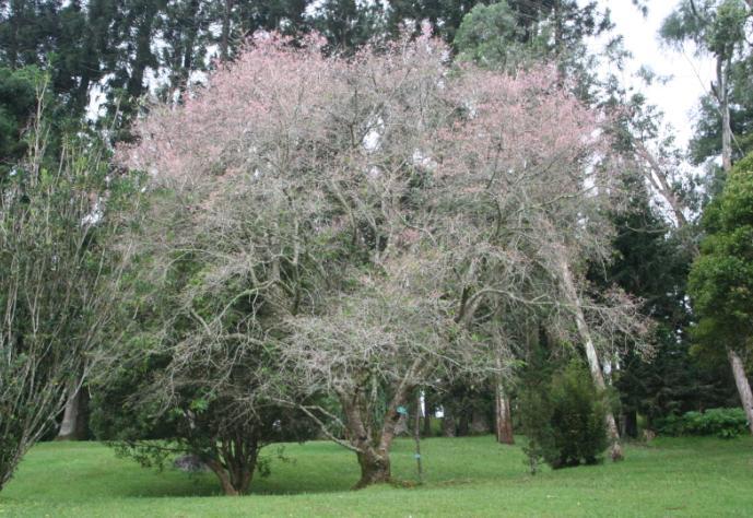 Sakura Bermekaran Cibodas Dicianjur Taman Kebun Raya Kab Bogor