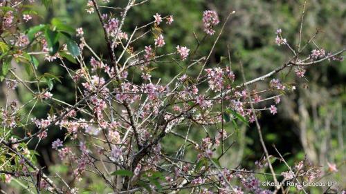 Serunya Menikmati Bunga Sakura Kebun Raya Cibodas Taman Kab Bogor