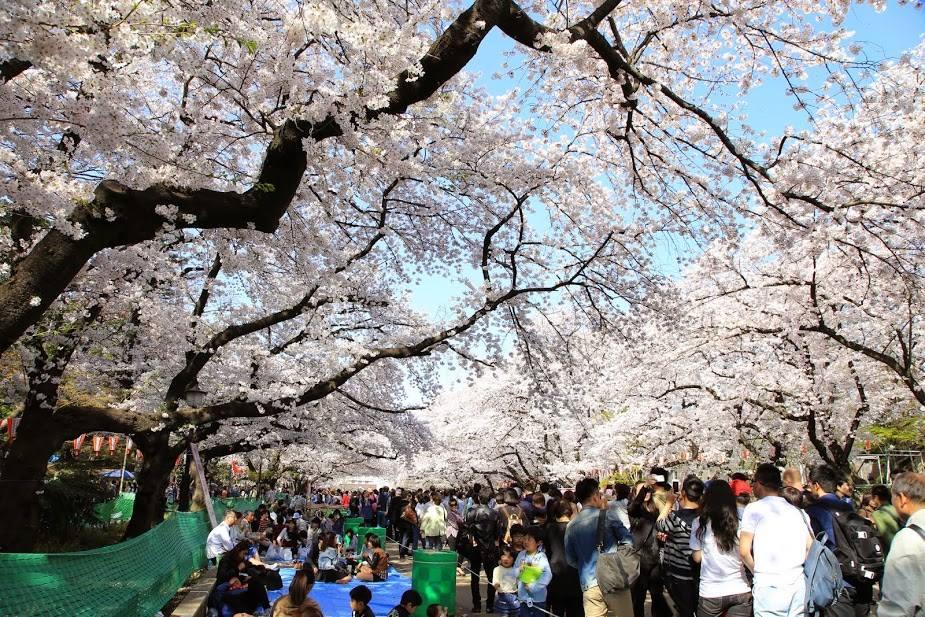 Tak Perlu Jepang Cianjur Kebun Bunga Sakura Merahputih Taman Raya