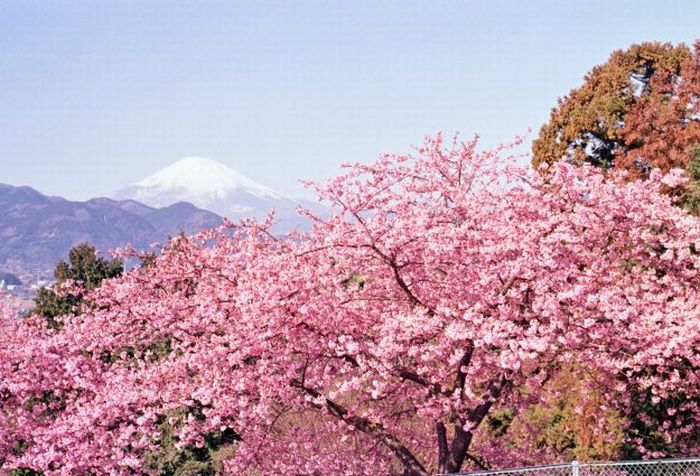 Tak Perlu Jepang Kecantikan Taman Sakura Bisa Dinikmati Bogor Https