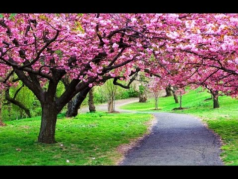 Taman Bunga Sakura Kebun Raya Cibodas Youtube Kab Bogor