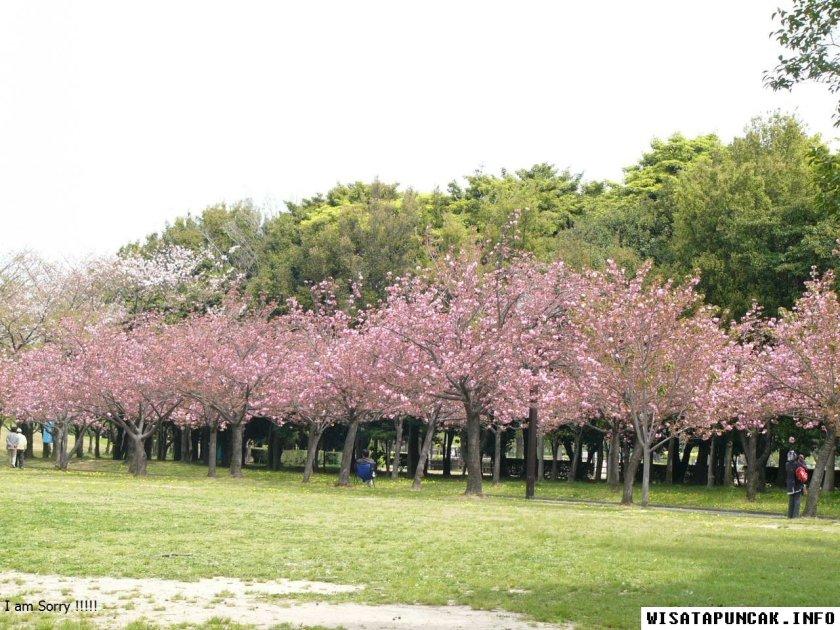 Taman Sakura Cibodas Bunga Ala Indonesia Portal Poto Kebun Raya