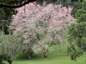 Taman Sakura Kebun Raya Cibodas 2004 Tsukuba Jepang Menghadiahkan Pohon