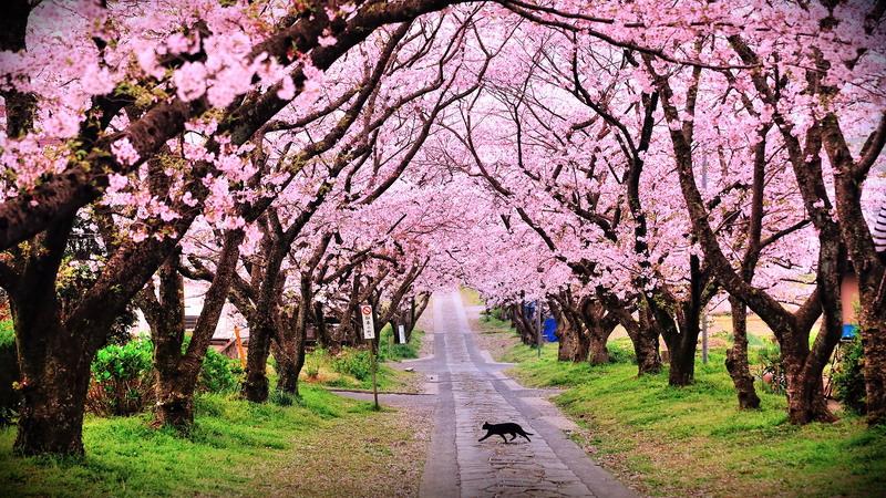 Taman Sakura Kebun Raya Cibodas Kab Bogor