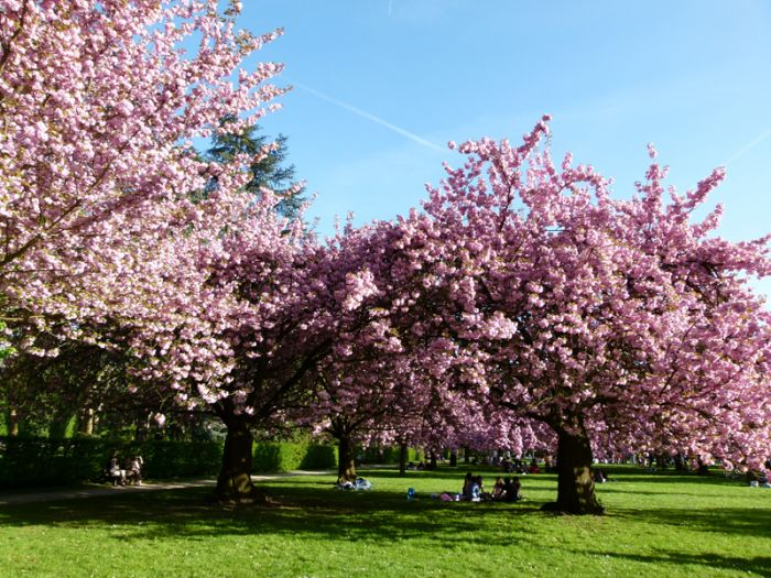 Tempat Wisata Puncak Bagus Kasihberita Bunga Sakura Kebun Raya Cibodas