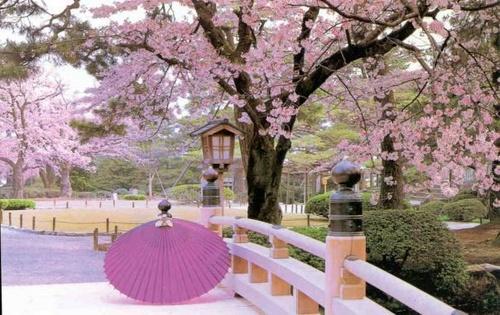 Ya Haa Menyaksikan Sakura Indonesia Melihat Bunga Mekar Tidak Perlu