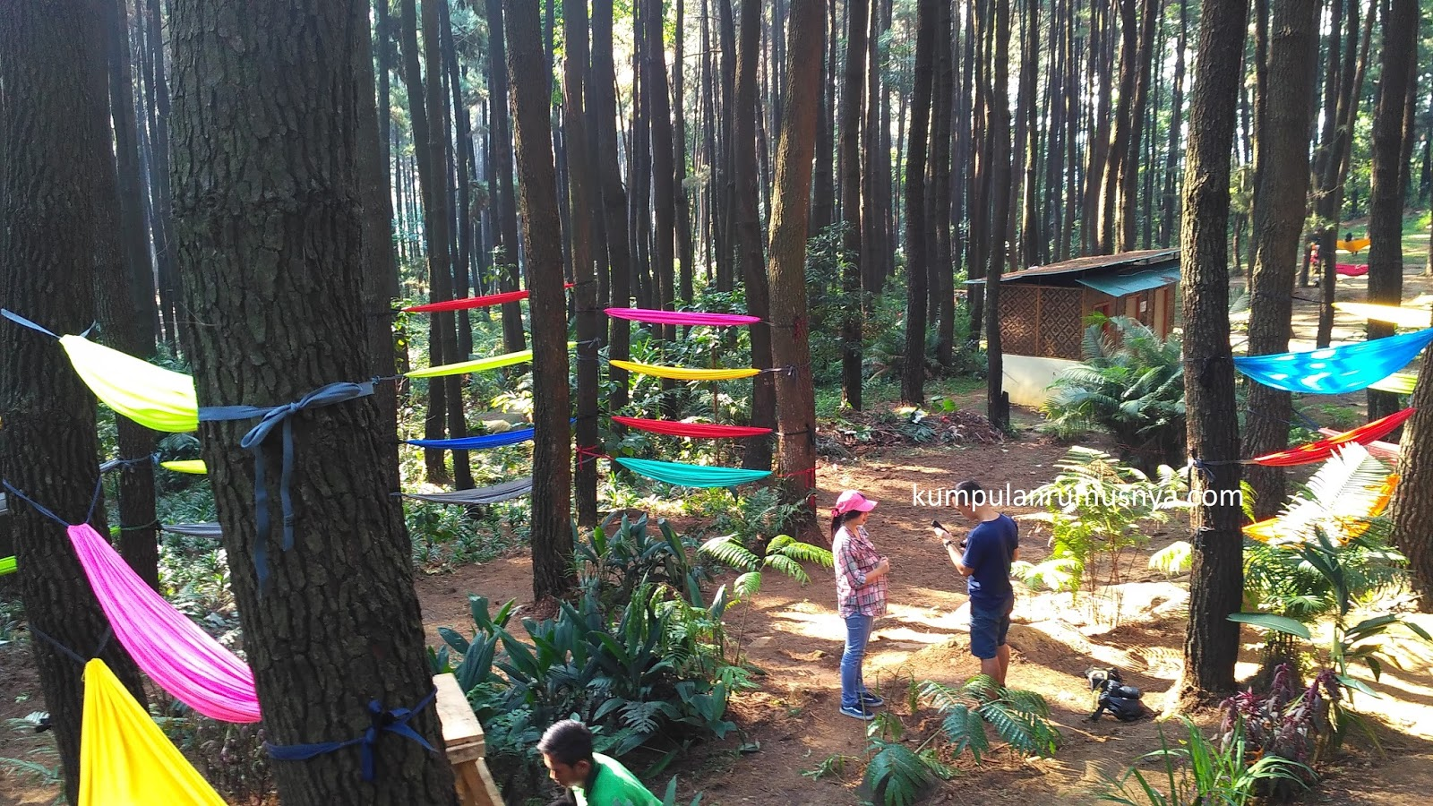 Hutan Pinus Gunung Pancar Sentul Bogor Foto Hammock Wisata Kab