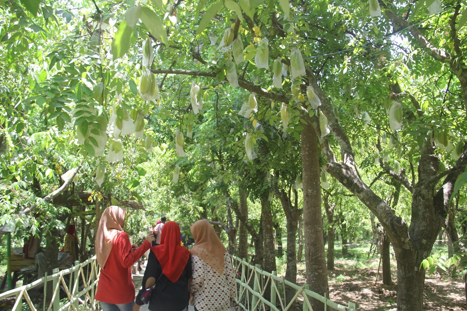 Agrowisata Belimbling Kerajinan Gerabah Bojonegoro Suguhkan Kebun Belimbing Ngringinrejo Kalitidu