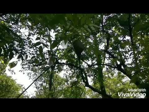 Agrowisata Blimbing Ngringinrejo Kalitidu Bojonegoro Youtube Kebun Belimbing Kab