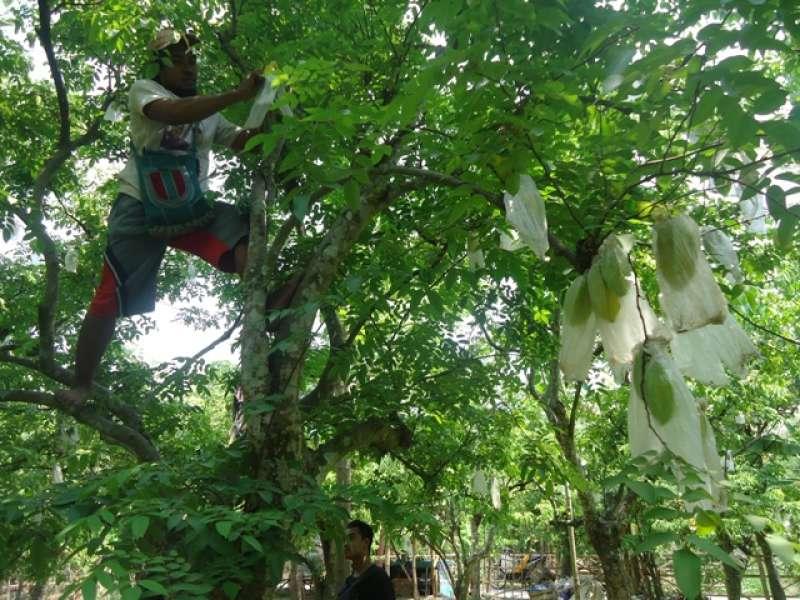 Agrowisata Kebun Belimbing Ngringinrejo Semakin Ramai Dikunjungi Wisatawan Kab Bojonegoro