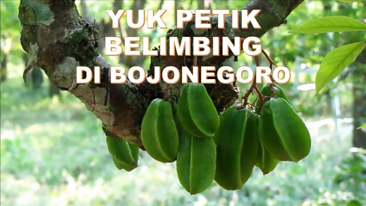 Ayo Dolan Kebun Belimbing Bojonegoro Jawa Timur Youtube Agrowisata Ngringinrejo