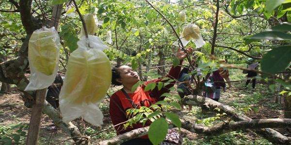 Bulan Depan Festival Belimbing Bojonegoro Media Informasi Agrowisata Kebun Ngringinrejo