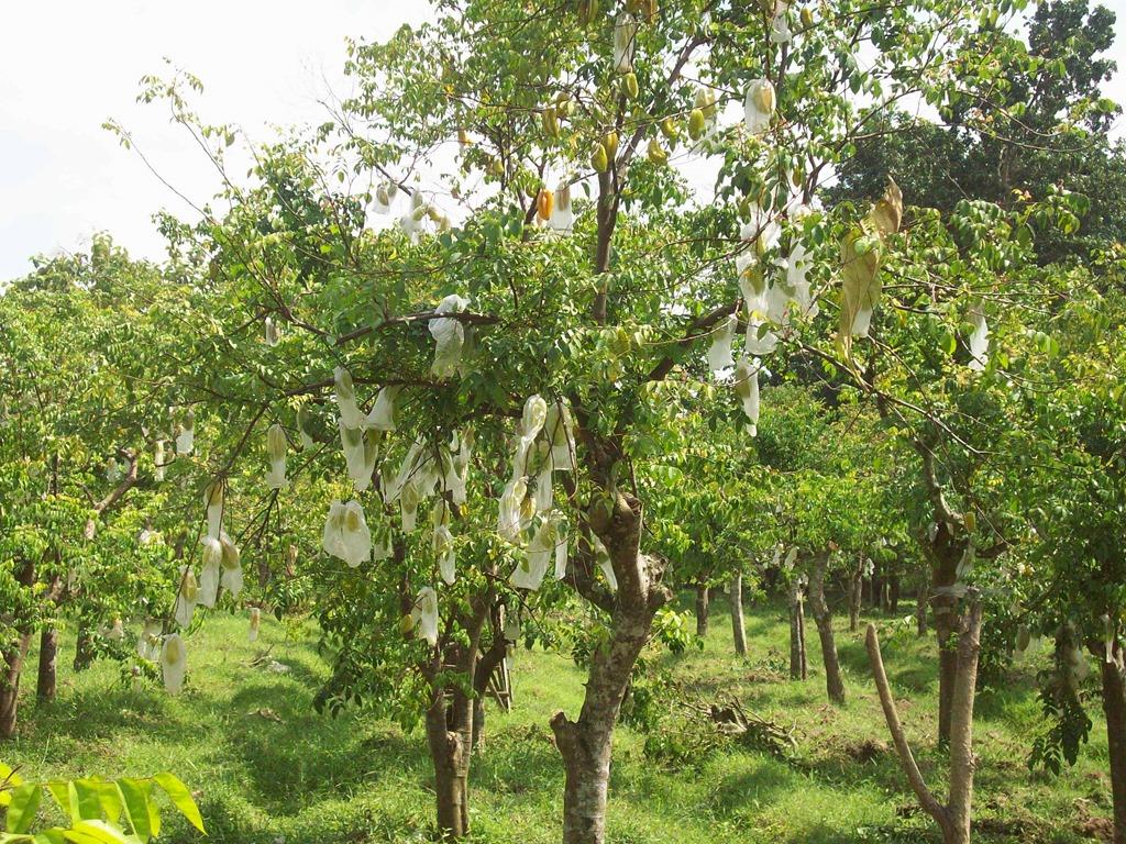 Kebun Blimbing Bojonegoro Kin Places Image Agrowisata Belimbing Ngringinrejo Kab