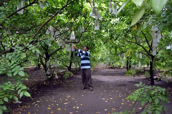 Kebun Blimbing Madu Ngringinrejo Kim Depok Dikebun Jangan Bedakan Wisata