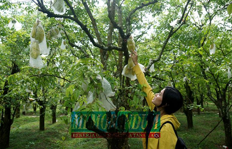 Manisnya Wisata Kebun Blimbing Ngiringinrejo Pengunjung Memetik Langsung Buah Belimbing