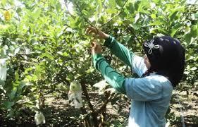 Pemerintah Kabupaten Bojonegoro Agrowisata Belimbing Desa Ngringinrejo Jambu Merah Mayanggeneng