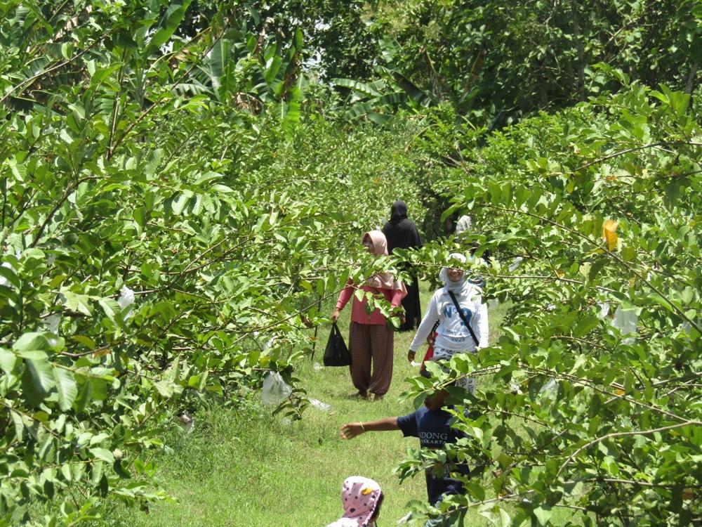 Pemerintah Kabupaten Bojonegoro Bojonegorokab Id Agrowisata Jambu Kristal Desa Padang