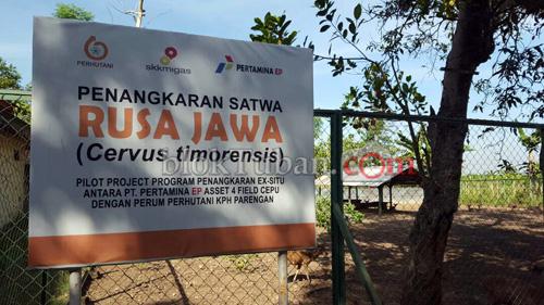 Bloktuban Rusa Jawa Hasil Konservasi Bertambah Penangkaran Bojonegoro Kab