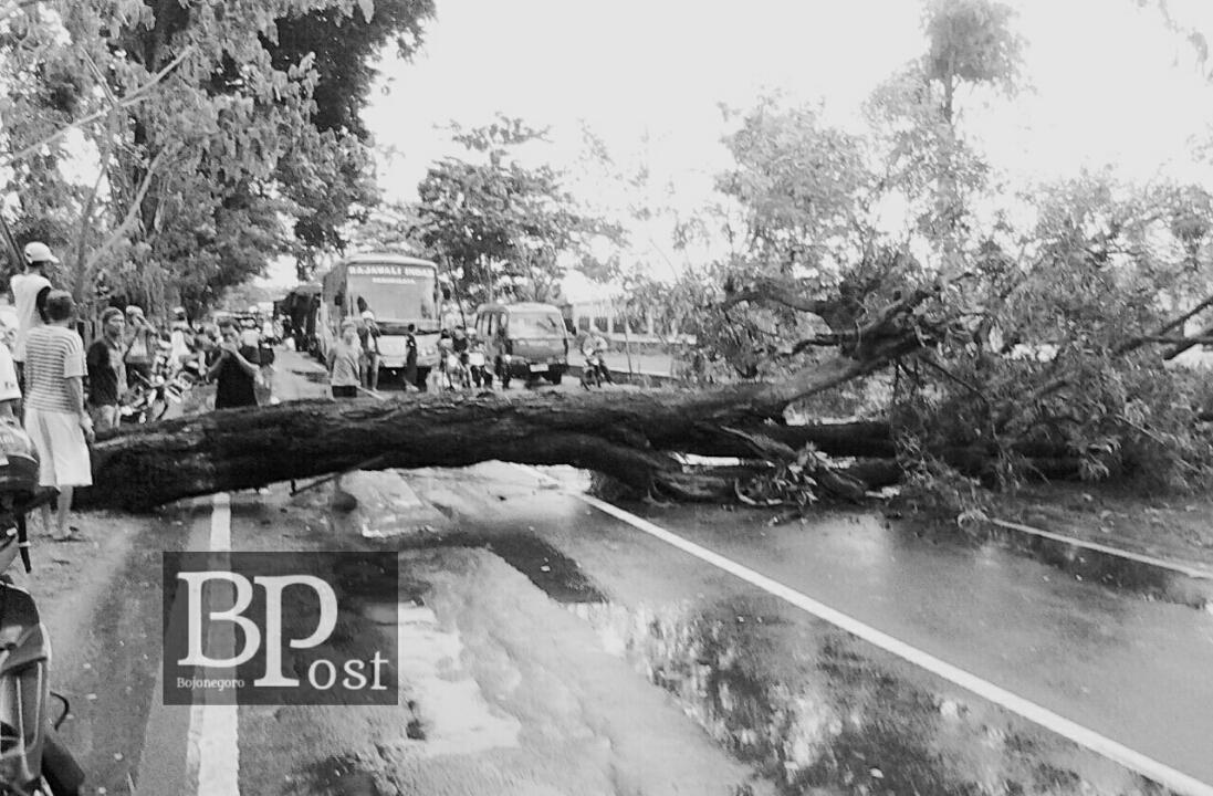 Bojonegoro Post Part 69 Pohon Roboh Disapu Angin Macetkan Kiloanmeter