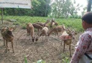 Kebun Binatang Mini Bojonegoro Penangkaran Rusa Kab