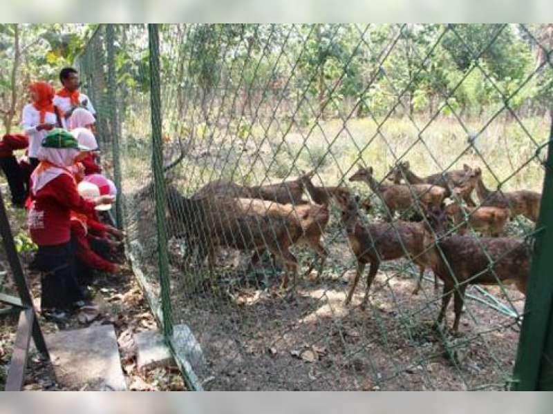 Kph Parengan Berhasil Membiakkan Rusa Timor Hutan Malo Berita Penangkaran
