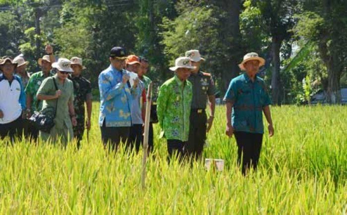 80 Hektar Sawah Bondowoso Siap Besertifikat Organik Internasional Desa Wisata
