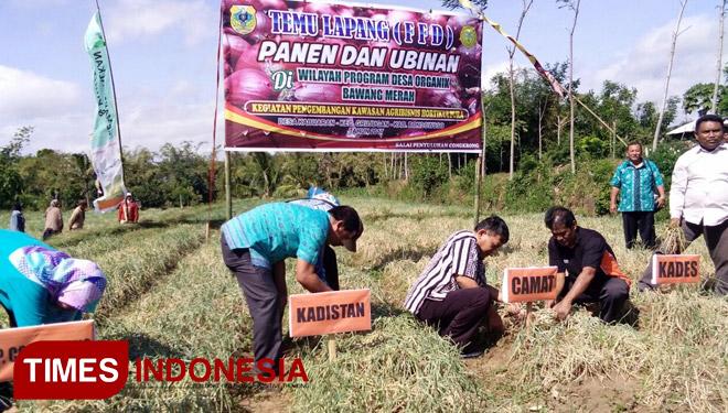 Dinas Pertanian Bondowoso Laksanakan Panen Bawang Merah Organik Pelaksanaan Desa