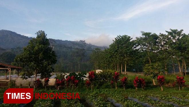Nikmatnya Petik Stroberi Organik Kaki Gunung Ijen Times Indonesia Agrowisata
