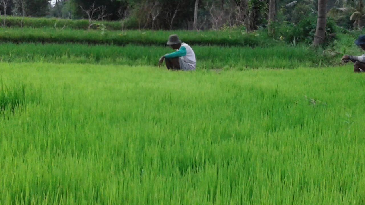 Pertanian Padi Organik Desa Wisata Lombok Kulon Bondowoso Mahasiswa Unej
