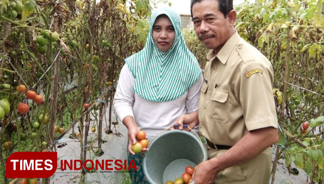 Setelah Padi Bondowoso Kembangkan Pertanian Hortikultura Organik Desa Wisata Kab