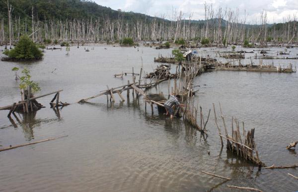 Seputar Tarakan Jangan Sampai Hutan Gundul Kayak Yak Mangrove Pulau