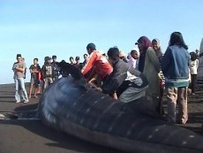 Bangkai Paus Terdampar Pantai Cilacap Widarapayung Kab