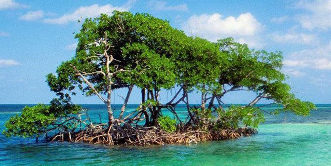 Hutan Mangrove Karang Talun Cilacap Payau Https Www Merdeka Wisata