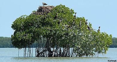 Hutan Payau Cilacap Wikipedia Bahasa Indonesia Ensiklopedia Bebas Salah Satu