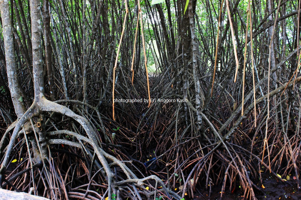 Menikmati Ekosistem Mangrove Wisata Hutan Payau Cilacap Ghost Ship Lantai