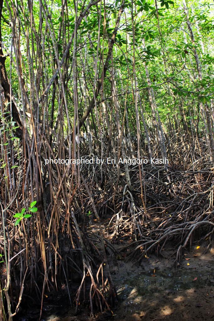 Menikmati Ekosistem Mangrove Wisata Hutan Payau Cilacap Ghost Ship Pohon