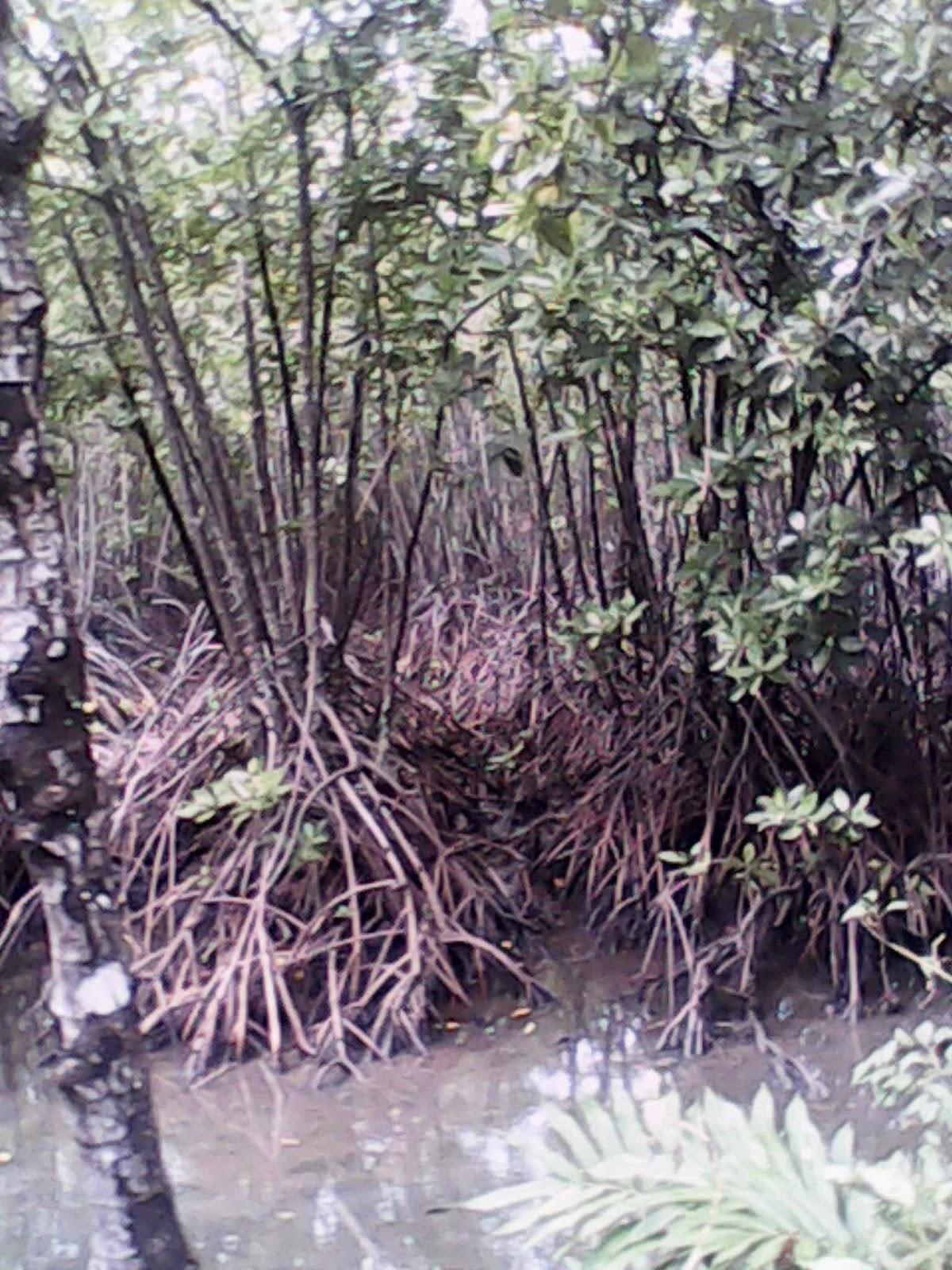 Visit Indonesia History Hutan Payau Tritih Cilacap Didirikan 1978 Dijadikan