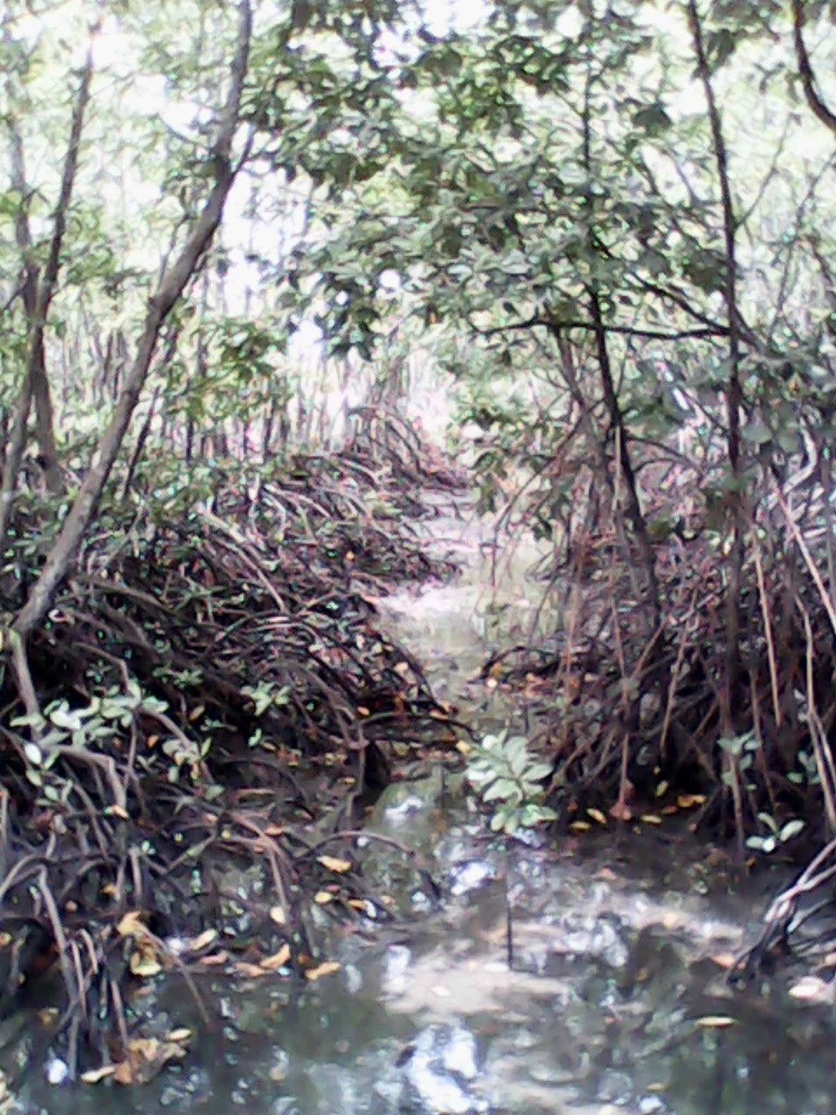 Visit Indonesia History Hutan Payau Tritih Cilacap Menurut Penuturan Warga