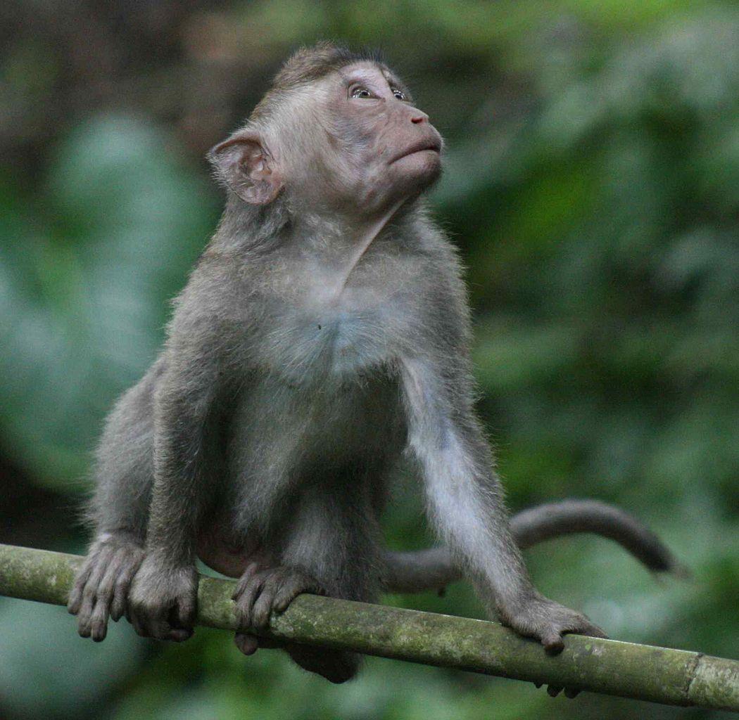 Monkey Forest Ubud Bali Attraction Indonesia Justgola Lepidlizard Bird Park