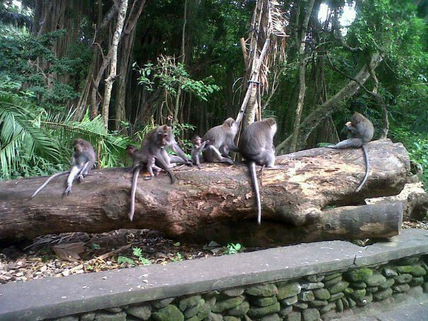 Monkey Forest Ubud Bali Attraction Indonesia Justgola Copy Sacred Sanctuary