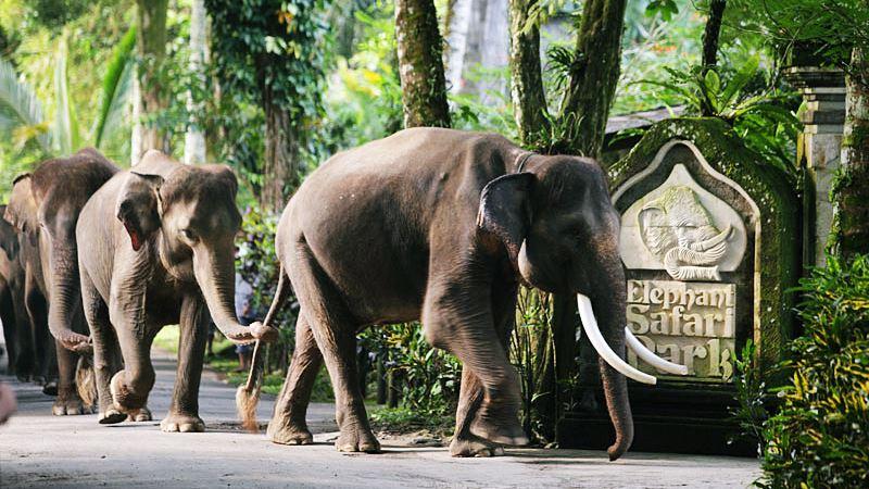 Elephant Safari Park Taro Ubud Balihiker 1 Kab Gianyar