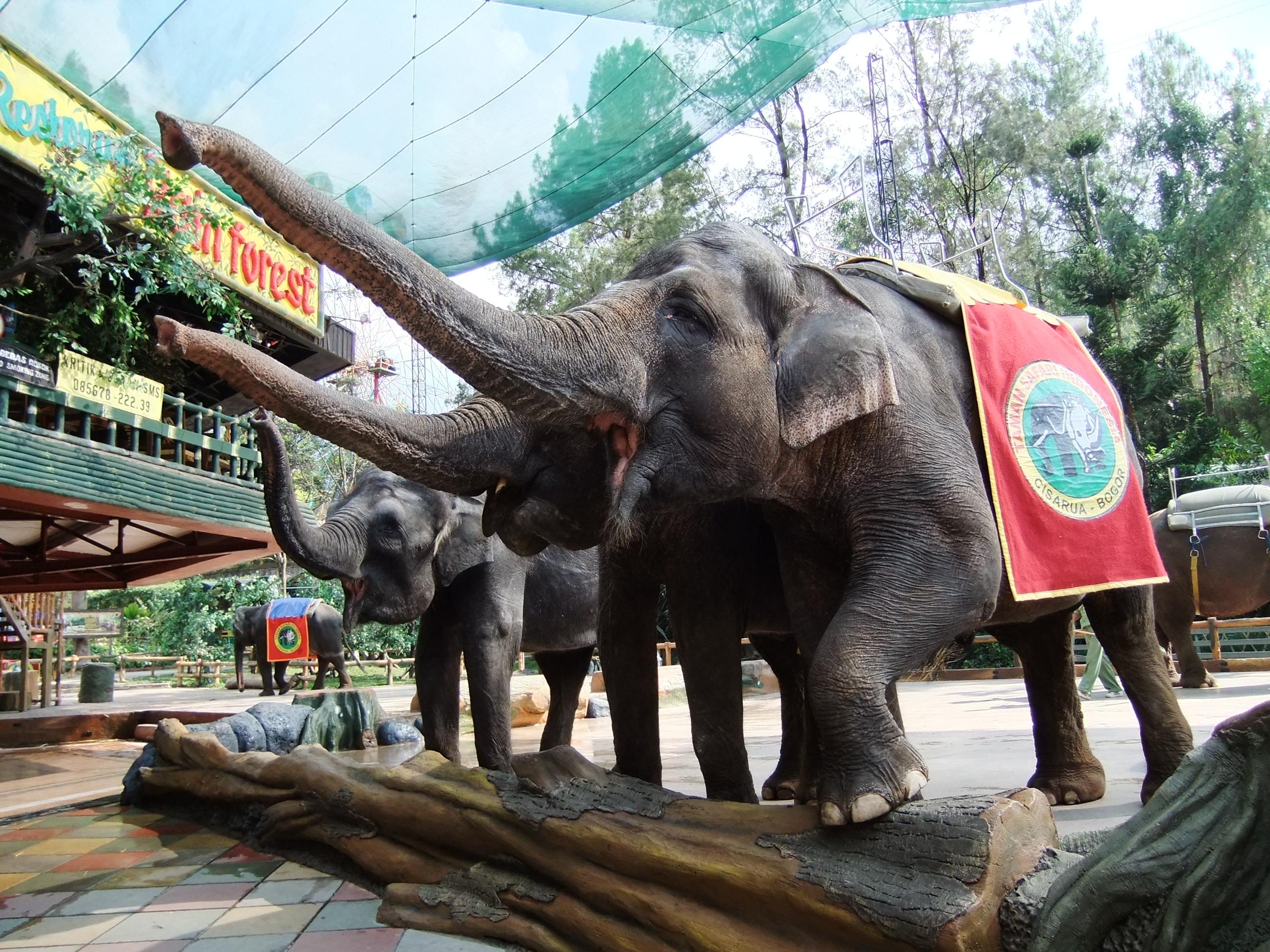 Taman Safari Indonesia Wikipedia Bahasa Ensiklopedia Bebas Pertunjukan Gajah Elephant
