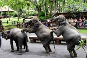 Tulisan Anak Desa Juni 2013 Gajah Melakukan Atraksi Elephant Safari
