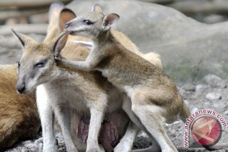 Wisatawan Bali Zoo Melonjak 100 Persen Antara News Sumatera Barat