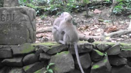Newsflare Cheeky Monkey Fondles Woman Breast Monkeys Fighting Ubud Forest
