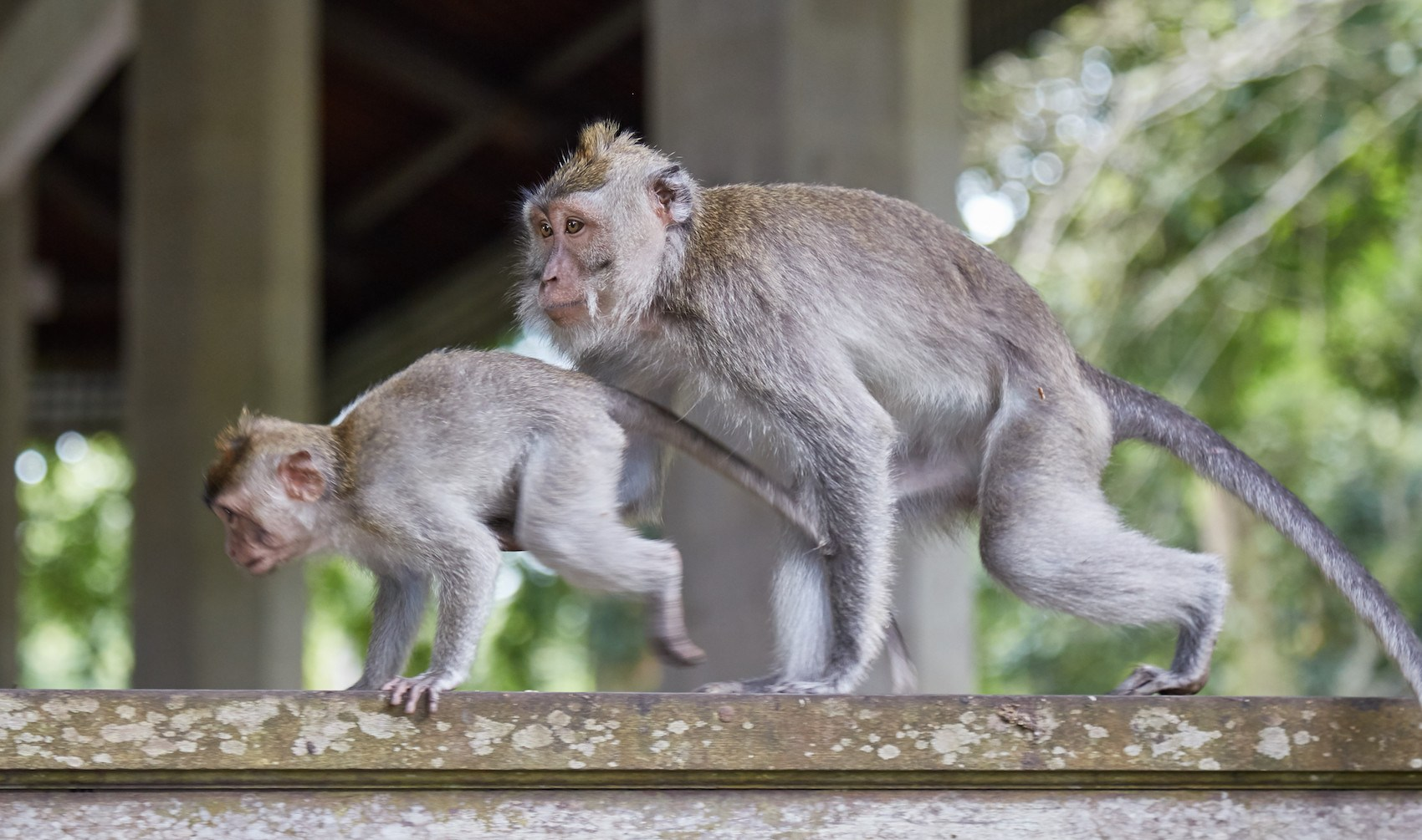 Top 5 Central Ubud Sailingstone Travel Monkey Forest Kab Gianyar
