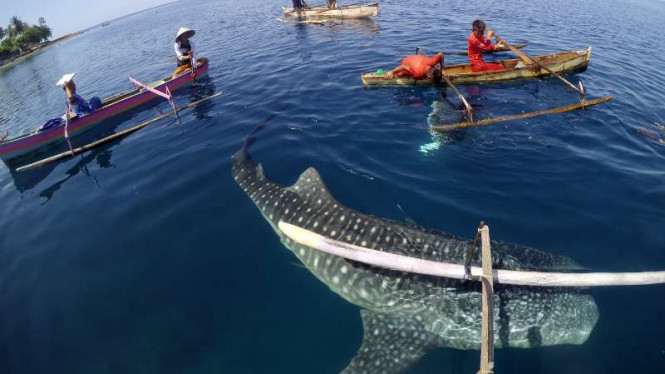 Kawanan Hiu Paus Bermunculan Pantai Teluk Tomini Viva Image Title