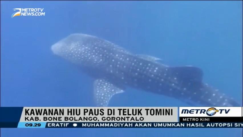 Metro News Berenang Bersama Hiu Paus Teluk Tomini Goron Kab