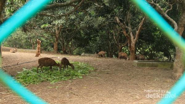 Penangkaran Rusa Pulau Bawean Hewan Endemik Kab Gresik